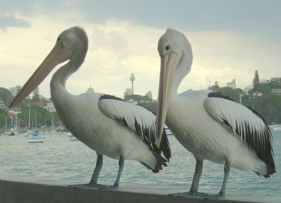 Pelican_city_1